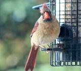 Cardinal13