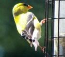 Goldfinch7