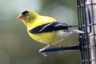 Goldfinch8
