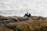 Cormorants1