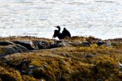 Cormorants6