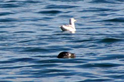 Seal31
