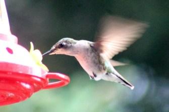 IMG_7661Hummingbird