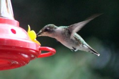 IMG_7662Hummingbird