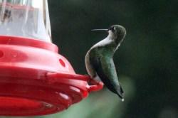 IMG_8333Hummingbird