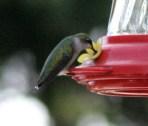 IMG_8656Hummingbird