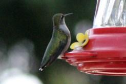 IMG_8659Hummingbird