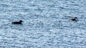 IMG_9646Loons