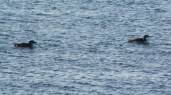 IMG_9648Loons