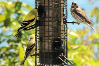 IMG_4449Finches