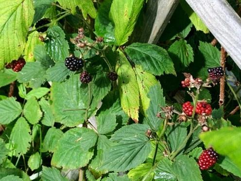 IMG_2077Blackberries