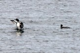 IMG_3473Loons