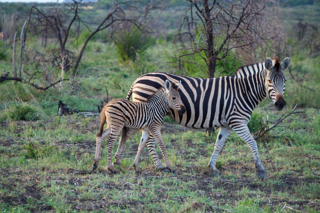 safari impodimo madikwe zebra