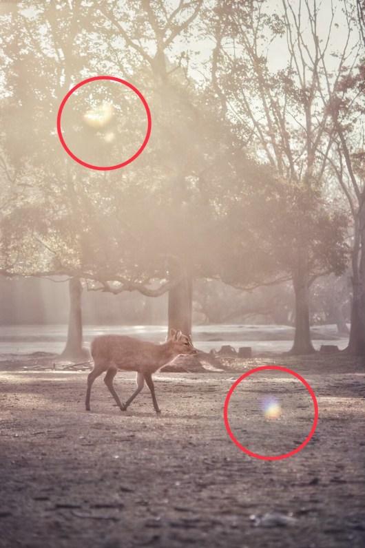 朝日に照らされて歩く鹿