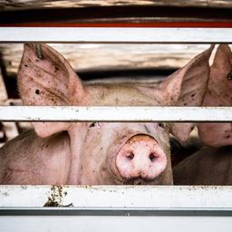 NVWA neemt maatregelen tegen slachterij om schenden dierenrechten