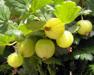 Gooseberries Low Carb