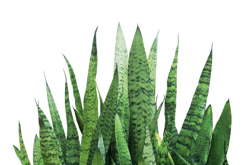 Plants that help you sleep - Snake Plant