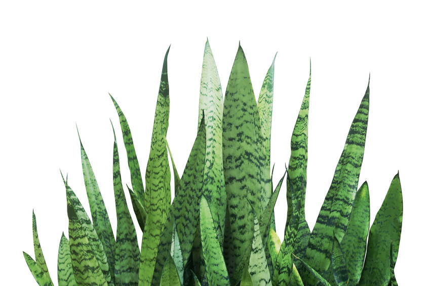 Plants that help you sleep - Snake Plant