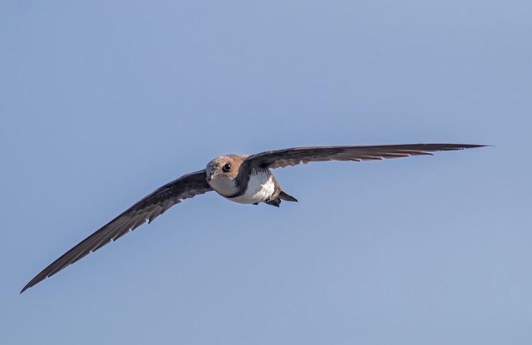alpine swift in flight