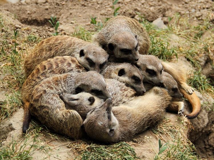 meerkat gang sleeping