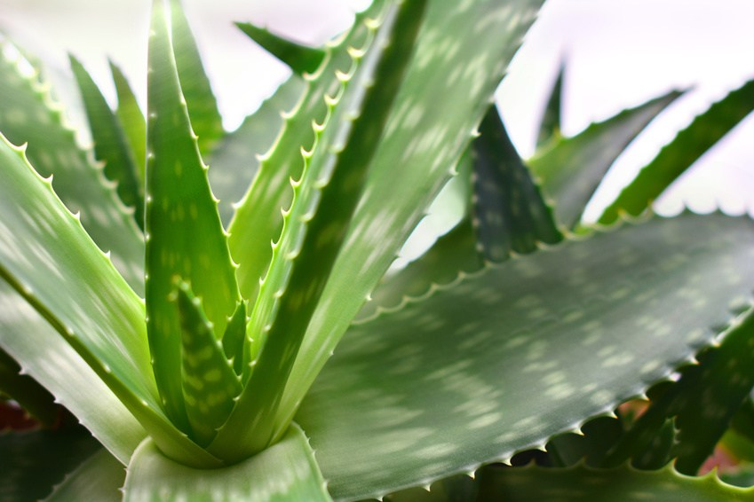 Plants that help you sleep - Aloe Vera