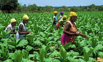 Starting Tobacco Farming Business In Zimbabwe