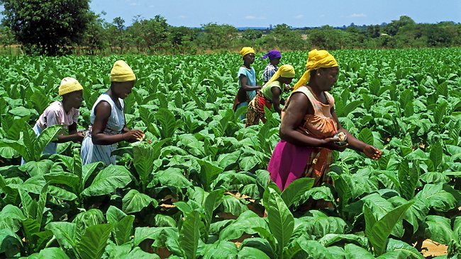 Starting Tobacco Farming Business In Zimbabwe