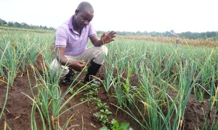 Garlic Farming in Zimbabwe
