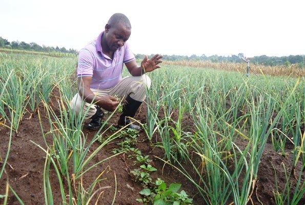 Garlic Farming in Zimbabwe