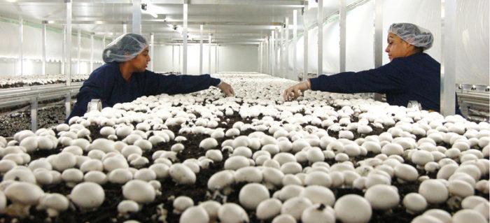 Start a mushroom farming business in Zimbabwe