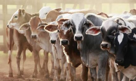 Huge Prospects In The Zimbabwean Livestock Industry