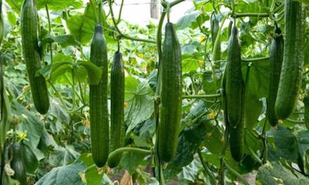 Starting A Cucumber Farming Business
