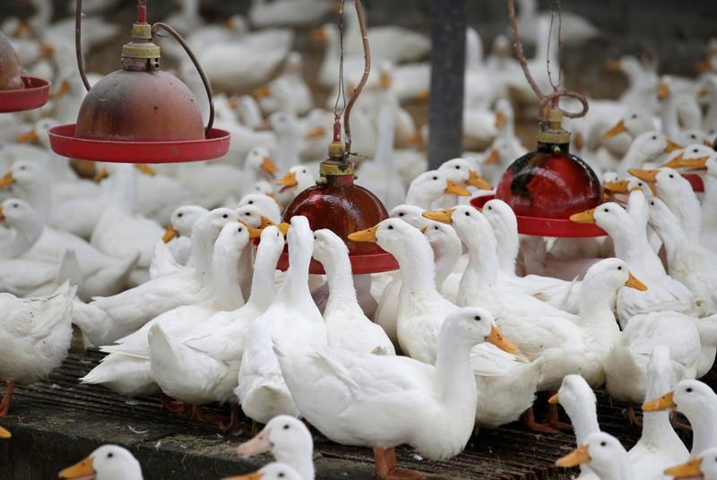 Starting A Ducks Farming Business