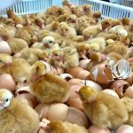Starting A Poultry Hatchery Business in Zimbabwe