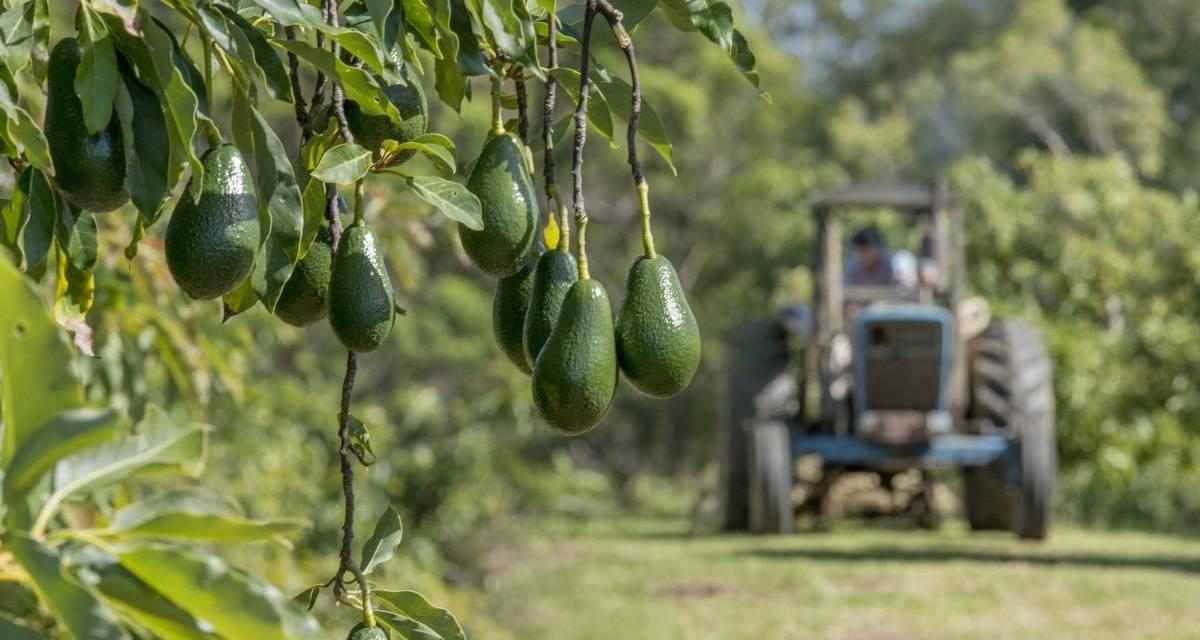 Starting An Avocado Farming Business In Zimbabwe