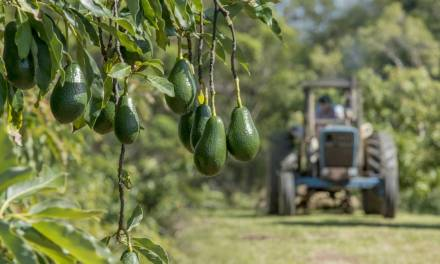 Starting An Avocado Farming Business In Zimbabwe