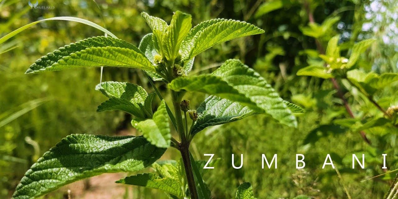 Africa University Develops Zumbani Cough Drops