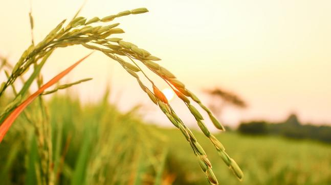 How To Start A Rice Farming Business In Zimbabwe