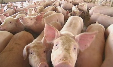 How to start a piggery business in Zimbabwe and the business plan