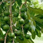 Starting Macadamia Nuts Farming Business Plan (PDF)