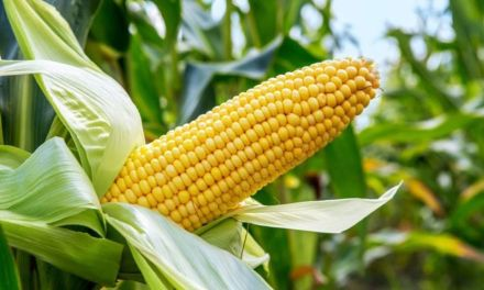 How To Start A Maize Farming Business