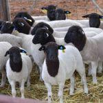 Starting Mutton Sheep Farming Business Plan (PDF)