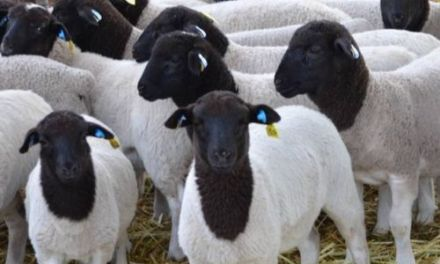 Starting Mutton Sheep Farming Business Plan (PDF)