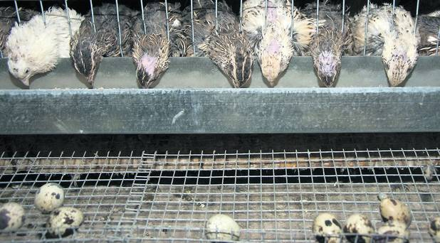 Quails in a cage