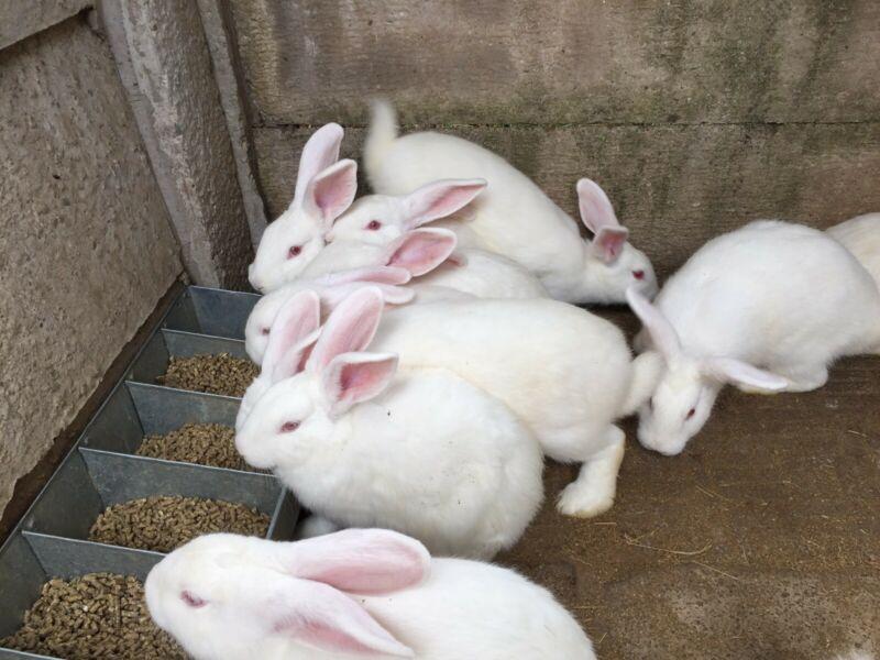 rabbit farming profit calculator pdf