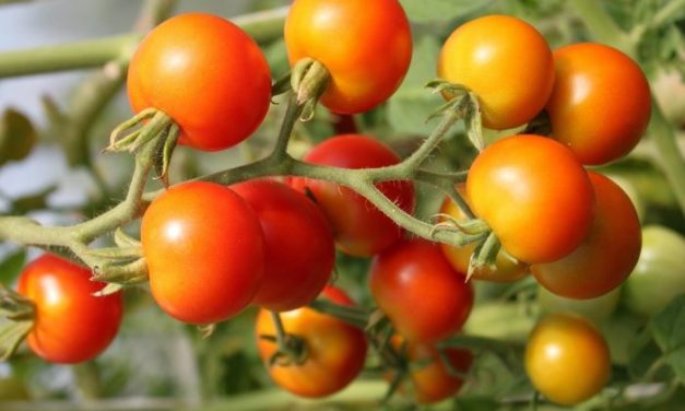 Starting Tomato Farming Business Plan (PDF)