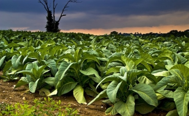 How To Start A Tobacco Farming Business