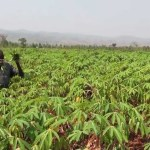 How To Start A Cassava Farm In Nigeria: A Comprehensive Business Plan