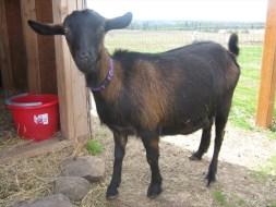 Oberhasli Goats - Goat Farming In Nigeria