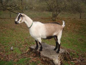 Alpine Goats - Goat Farming In Nigeria